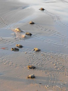 Turtle hatchlings march to the sea.